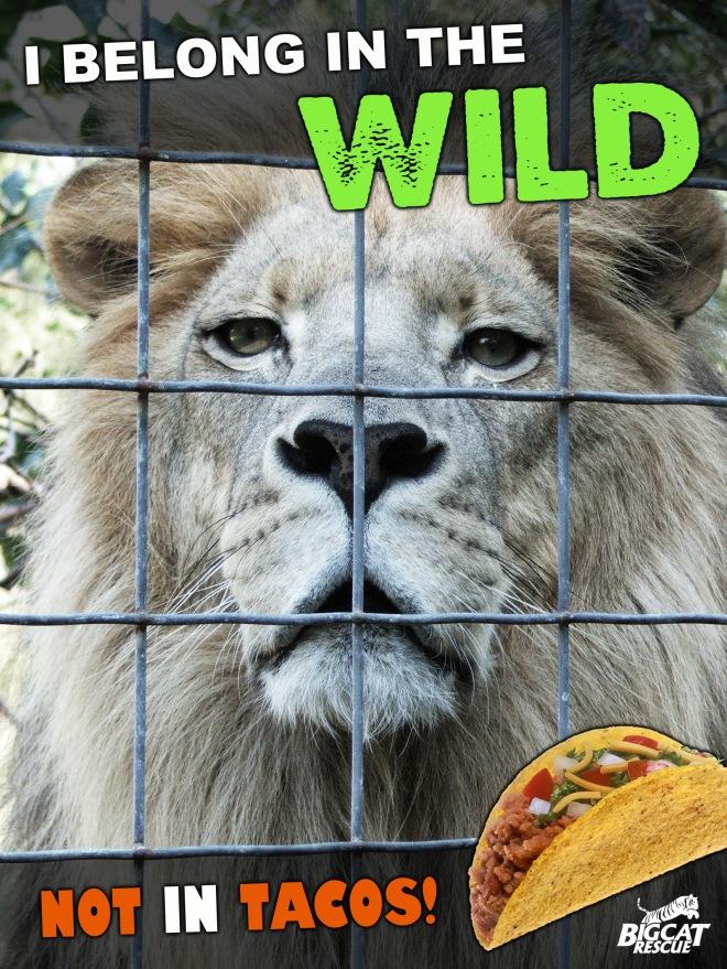lion_tacos